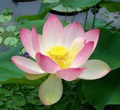 prema yoga lotus